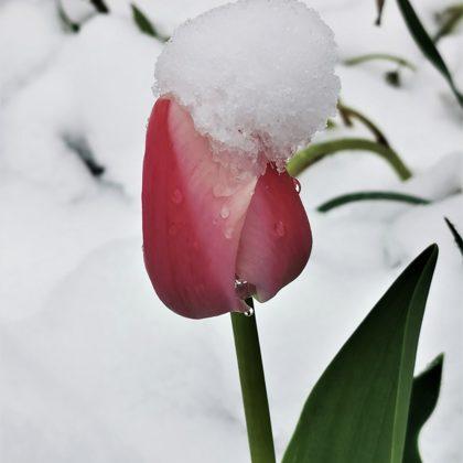 12.maija tulpe ar sniega ausaini