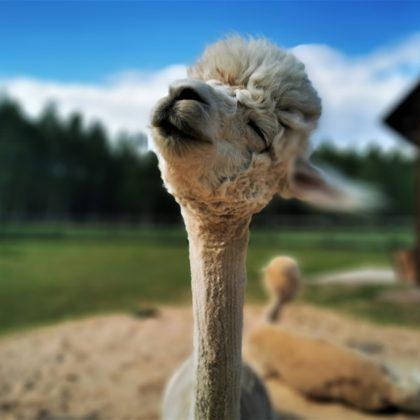 alpaca yoy