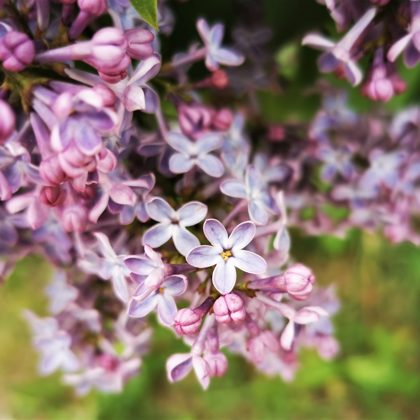 lucky lilac