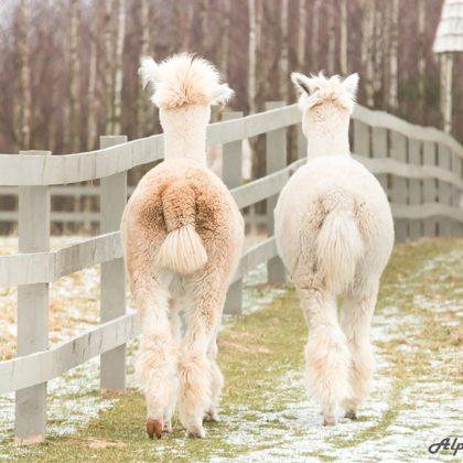 alpaca talk